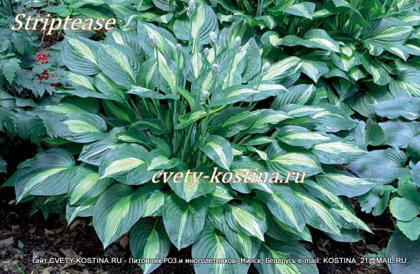 Хоста сорт Стриптиз- Hosta Striptease