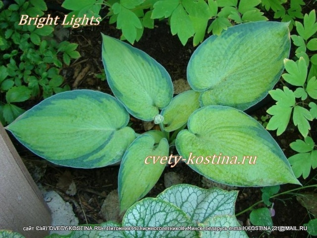 Хоста Брайт Лайтс- Hosta Bright Lights