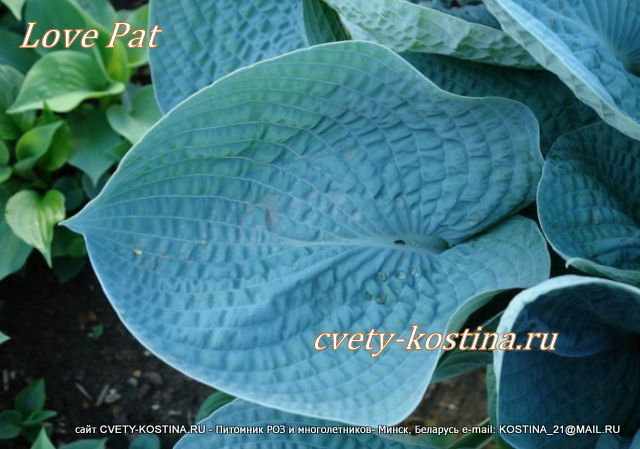хоста Лав Пэт- hosta Love Pat