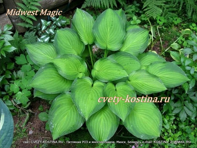 Хоста гибридная сорт Мидвест Мэджик - Hosta Midwest Magic