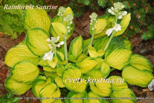 хоста Ренфорест Санрайз- hosta Rainforest Sunrise