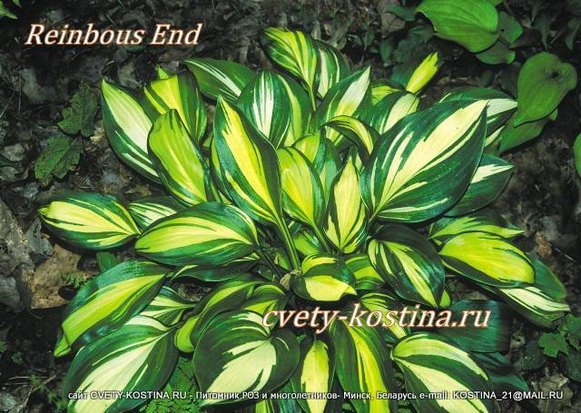 хоста Рейнбоуз Энд - hosta Ranbows End