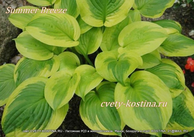 Хоста сорт Саммер Бриз - Hosta Summer Breeze