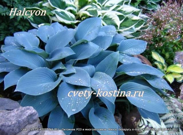 Цветок хоста голубая