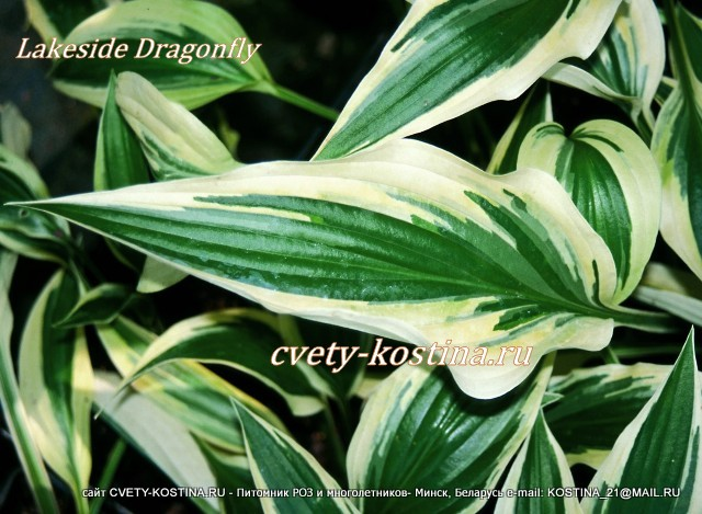 хоста Лакесайд Драгонфлай- hosta Lakeside Dragonfly