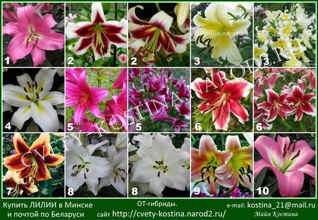 Купить лилии от-гибриды