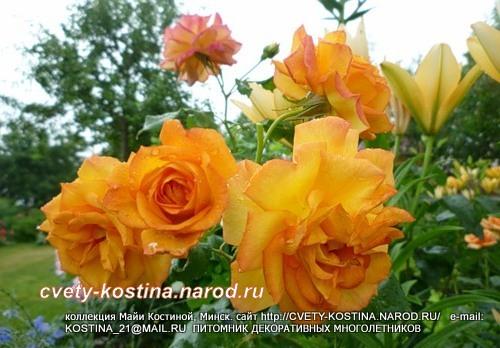 Розы флортбунда шрабы купить минск доставка живых цветов г.ростов-нв-дону