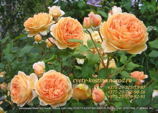 английская роза сорт Crown Princess Margaretha- AUSwinter- David Austin