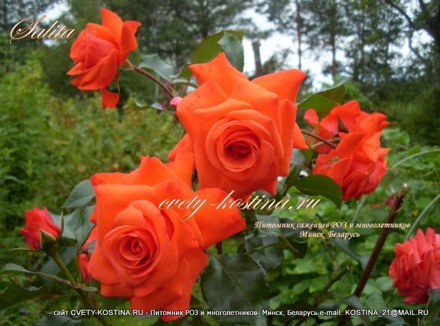 Роза салита плетистая