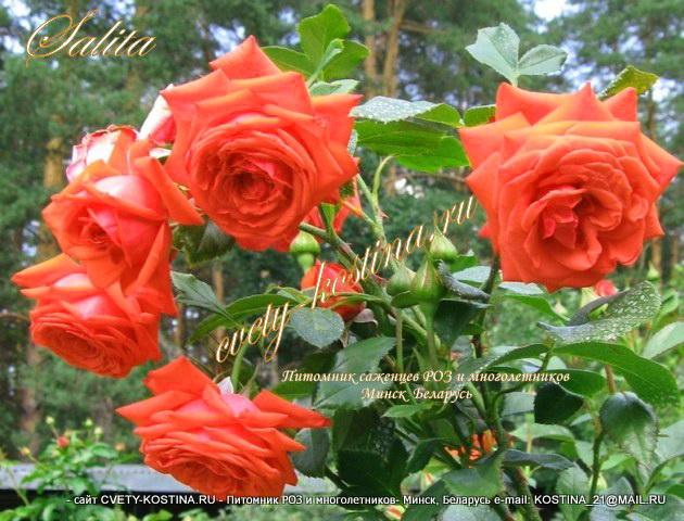 Купить цветы минск саженцы салон цветов петербург доставка