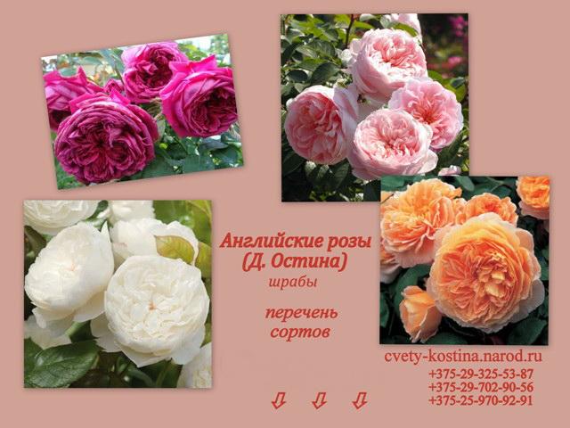 Купить английские розы в минске доставка букетов цветов в воронеже