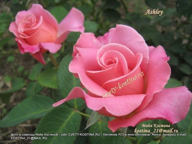 Купить саженцы розы и лилии в минске купить цветы для посадки в интернете ua