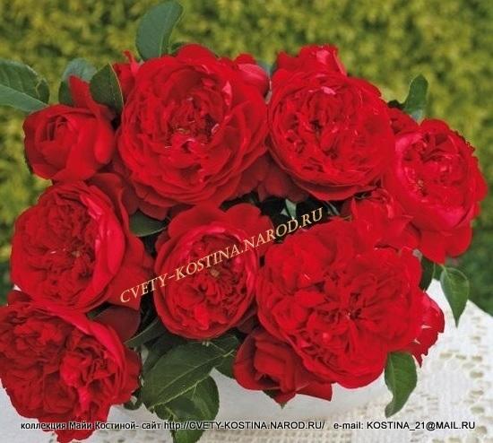 Розы сибирь купить