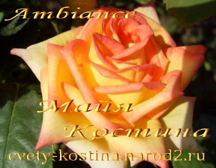 Купить розы саженцы в минске